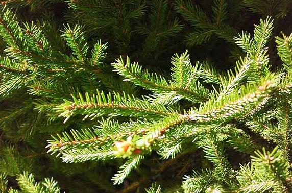 Lodgepole Real Pine Christmas Trees