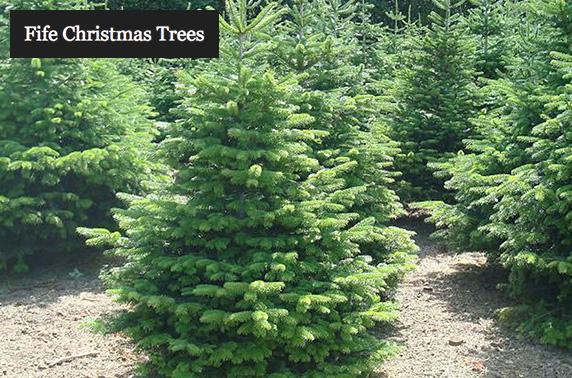 Nordmann Fir Christmas trees – itison