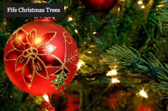Nordmann Fir Christmas trees - from £19